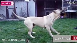 قویترین-و-خطرناک-ترین-نژاد-سگ-ها