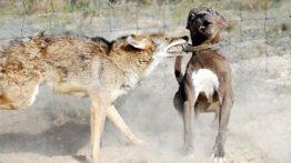 لحظه ترسناک حمله گرگ به سگ و درگیری با سگ