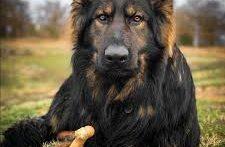 مسابقات سگ برترین سگ ژرمن شپرد ایران زیر G3