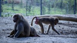 میمون ها در باغ وحش می توانند سنگ ها را تیز کنند و شیشه ها را بشکنند