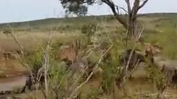 نبرد در حیات وحش آفریقا حمله شیر به سگ وحشی آفریقایی