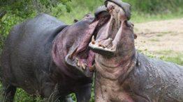 نبرد مبارزه حیوانات وحشی جهان ترسناک ترین حیوانات
