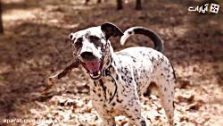 10-تا-از-بهترین-نژاد-سگ-خال-خالیِ-خالی
