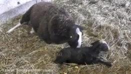 زایمان طبیعی گوسفند با کمک