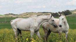 Decorative Horse Mating Video Decorative Horse Mating