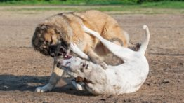 Dogs fight 18
