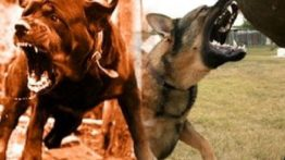 Dogs fight (2)