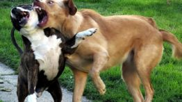 Dogs fight (3)