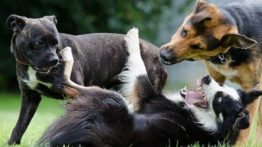 Dogs fight (4)