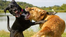 dogs-fighting