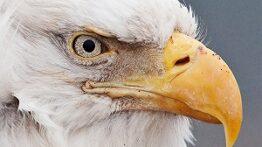 بهترین لحظات عقاب ها حین شکار در حیات وحش