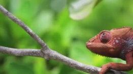 تغییر رنگ آفتاب پرست ماداگاسکار