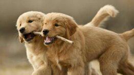 جفتگیری سگ , جفت گیری حیوانات