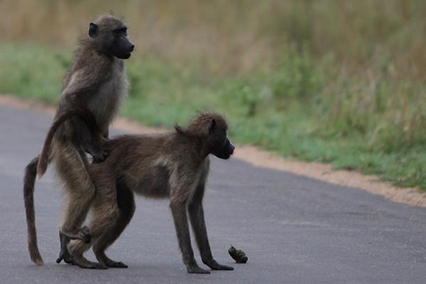 جفتگیری میمون ها Monkey mating