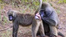 جفتگیری-میمون-ها-Monkey-mating