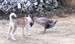 جنگ سگ با غاز و فیلم جنگ حیوانات وحشی