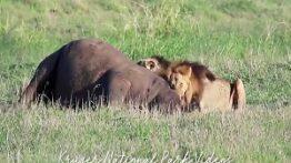 حیات وحش، 2 شیر نر در حال دریدن اسب آبی