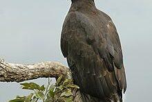 زنده خواری عقاب سیاه