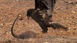 شکار ایگونا توسط عقاب
