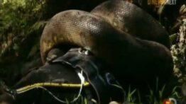 غذا خوردن آناکوندا غول پیکر در زیر آب