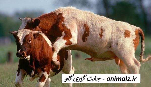 جفت گیری گاو Cow mating