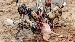 وحشتناک ترین زنده خواری حیوانات دریدن سگ های وحشی