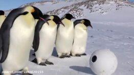 بازی پنگوئن ها با دوربین فیلمبرداری