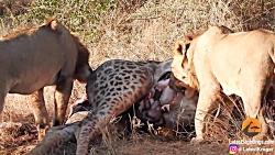 بیرون کشیدن زرافه کوچولو از شکم مادرش توسط شیرها +13