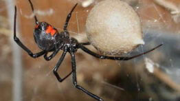 تخم گذاری عنکبوت سیاه و تولد آنها