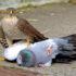 تصاویر باورنکردنی از شکار کبوتر