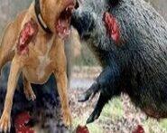 جنگ-حیوانات-اهلی-وحشی-