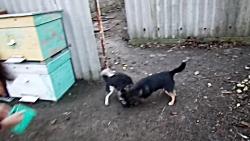 جنگ و نبرد شدید دو توله سگ