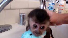 حمام کردن میمون
