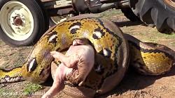 حمله اناکوندا و پیتون به بچه خوک روی تراکتور