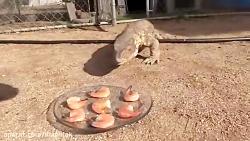 خرگوش وحشی صبحانه مارمولک گرسنه