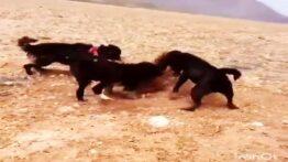 خوردن گرگ توسط سگ های وحشی