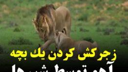 زجر کش کردن آهو توسط شیر