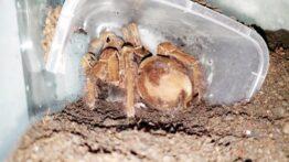 شکارشدن موش توسط عنکبوت پرنده خوارجالوت-بزرگترین عنکبوت دنیا
