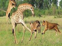 شکار زرافه توسط گله شیرهای گرسنه