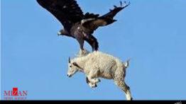 عقابی که گرگ شکار می کند.