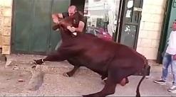 قصابی حرفه ای كشتن گاو غول پیكر