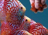 ماهی خوشگل و عجیب همه چیز خوار