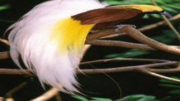 پرنده بهشتی