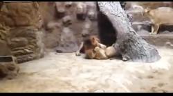 کلیپ عجیب دیدنی از شیر نری که جفت خود را در باغ وحش کشت