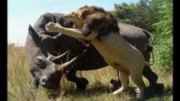 جنگ جذاب حیوانات وحشی