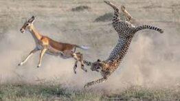جنگ و نبرد حیوانات وحشی در حیات وحش
