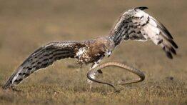 شکار دیدنی مار سمی توسط عقاب