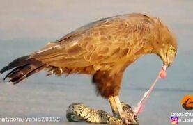 شکار عجیب مار توسط عقاب
