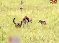 شکار غزال به دست سگ های وحشی ومزاحمت کفتارهای زشت