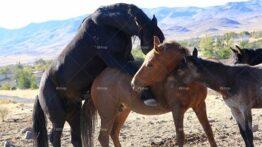 تزاوج الخيول